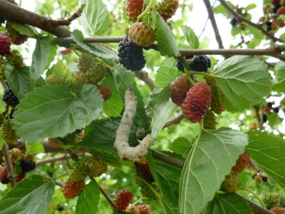Mulberry tree with fruits and silkworm enjoying mulberry leaf