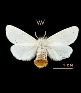 Weirdo Mulberry Silkworm