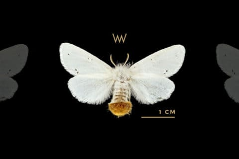 Weirdo Mulberry Silkworm