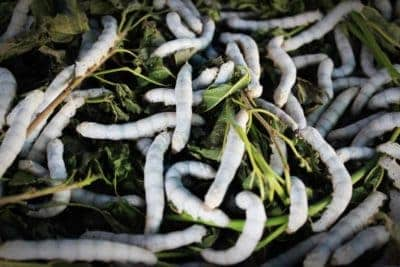 Mulberry silkworms (Bombyx Mori) eating leaves.