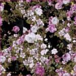 White Night 36 Pink Edge $295